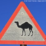 Camel-Crossing-Sharqiya-Sands-Oman