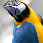 Blue-and-Yellow-macaw-bolivia